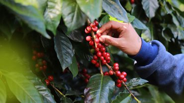 ARABICA COFFEE PLANTATION, MOUNT MERU